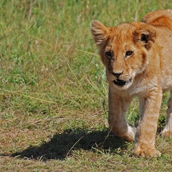 Lion picture photo cub kitten Kenya