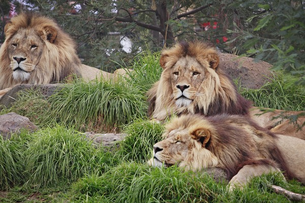 Lion picture photo family pack  zoo