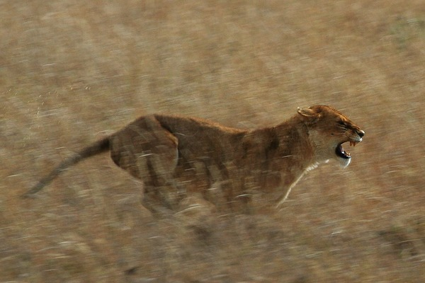 Lion picture photo hunting Running
