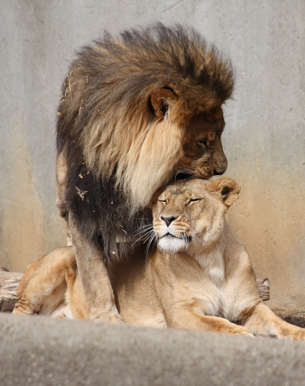 Lion picture photo kiss Mating Ritual