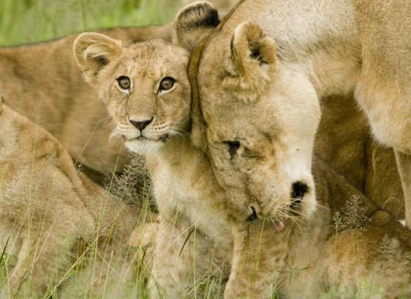 Lion picture photo love cub mother