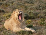 Lion picture photo mad male wild cat