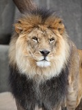Lion picture photo male zoo