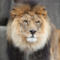 Lion picture photo male zoo_w250_h250_cw