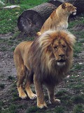 Lion picture photo zoo male