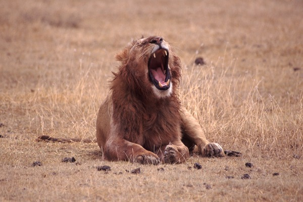 Male mane Lion picture photo Yawning
