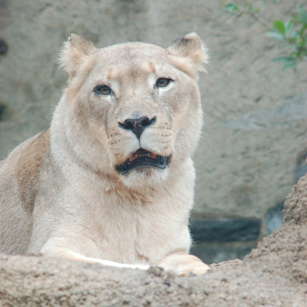 White Lioness picture photo African krugeri Female