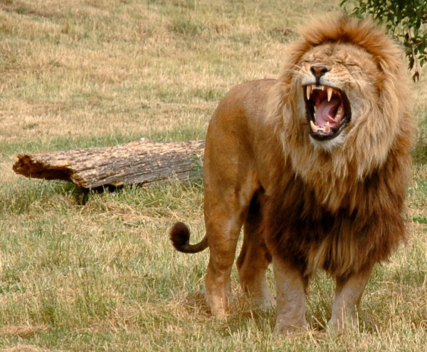 male Lion roar picture photo