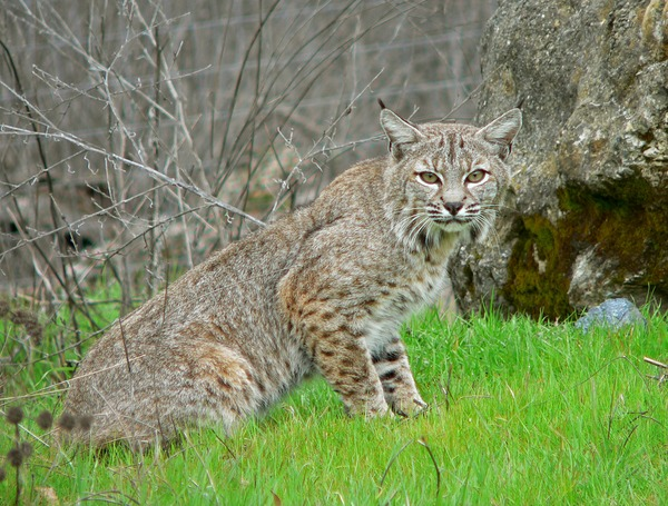 Bobcat Lynx Cat pictures American