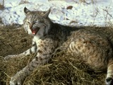 Bobcat Lynx Cat pictures