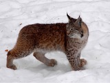 Canadian Lynx Cat pictures Katamotza