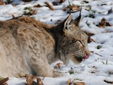 Canadian Lynx Cat pictures