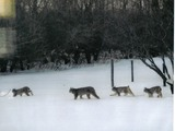 Canadian Lynx Family Cat pictures