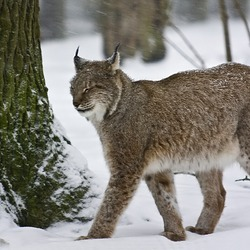 Canadian Lynx Snow