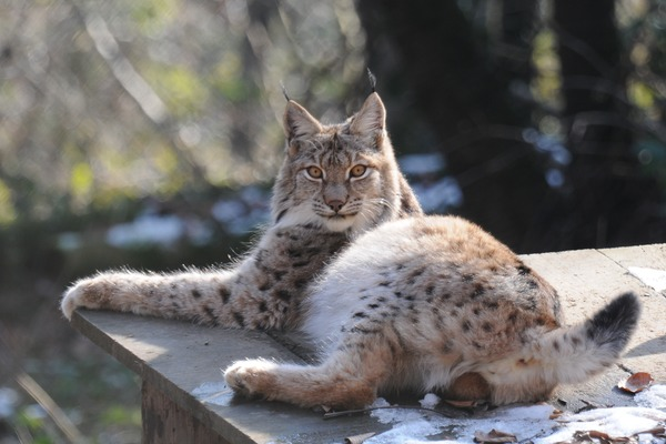 Canadian Lynx lying down  Cat pictures