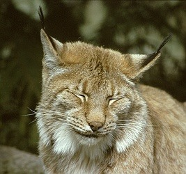 Canadian Lynx portrait Cat pictures (2)