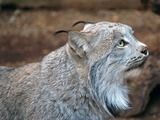 Canadian Lynx portrait Cat pictures