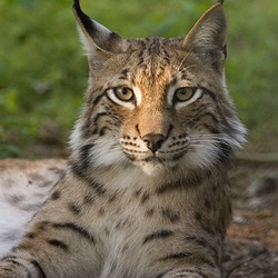 Eurasian Lynx Cat picture