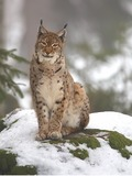 Eurasian Lynx Cat pictures (2)