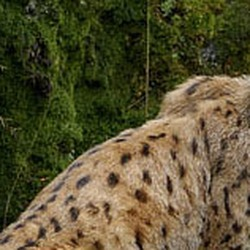 Eurasian Lynx Cat pictures