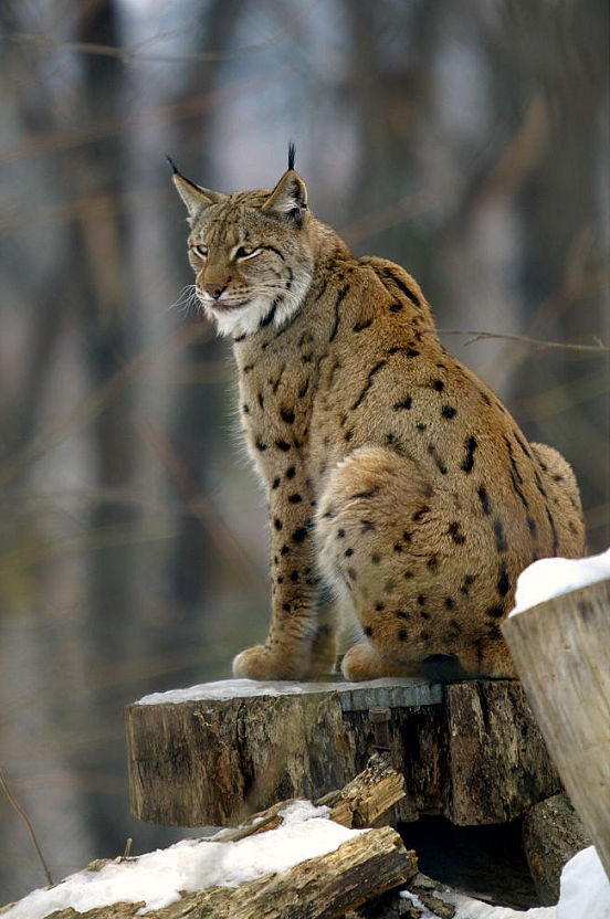 Eurasion Lynx Cat pictures Lynx