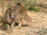 Iberian Lynx Cat pictures Linces