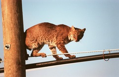 Lynx Cat pictures Bobcat on wires