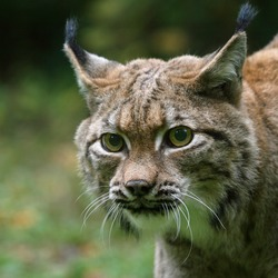 Lynx Cat pictures Bobcat