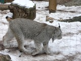 Lynx Cat pictures Canada canadensis