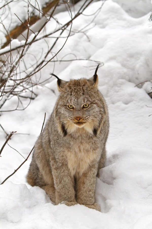 Lynx Cat pictures Canada