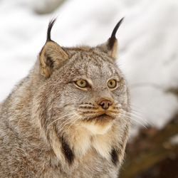Lynx Cat pictures Canadian linx