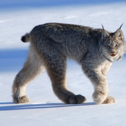 Lynx Cat pictures Canadian