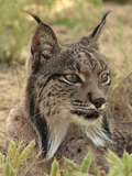 Lynx Cat pictures Iberian Linces