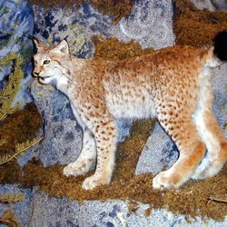 Lynx Cat pictures Linx