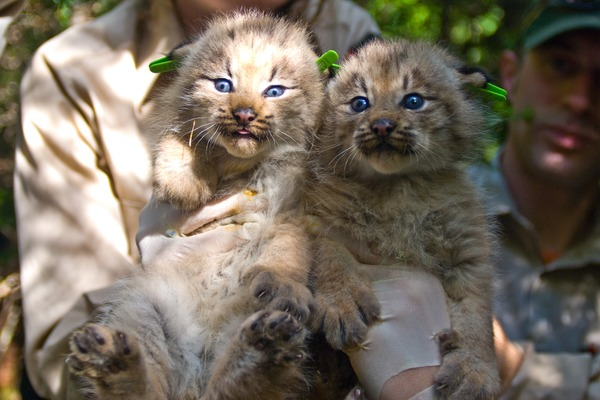 Lynx Cat pictures Two Canada Kittens