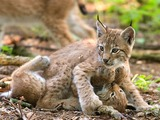 Lynx Cat pictures couple lynxes playing