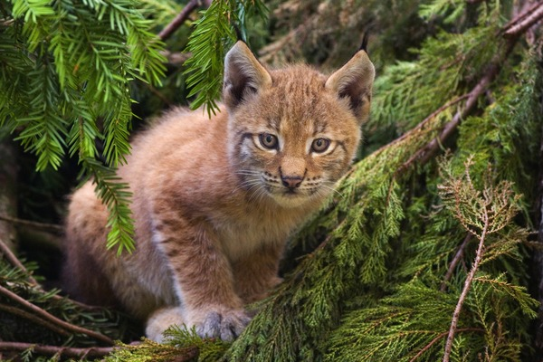 Lynx Cat pictures cub Linx kitten