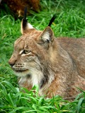Lynx Cat portrait picture (2)