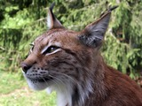 Lynx Cat portrait picture