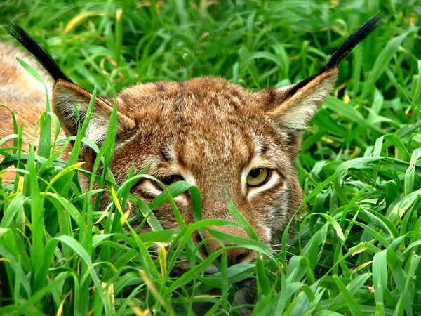 Lynx hiding ears Cat pictures