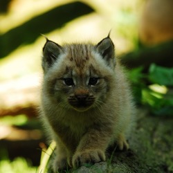 Lynx kitty cub Cat pictures