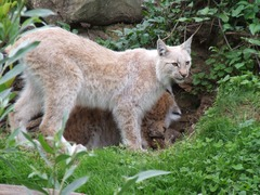 Lynx mom cubs Cat pictures Kerkrade Zoo