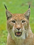 Lynx mouth portrait Cat pictures