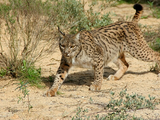 Lynx pardinus cat photo