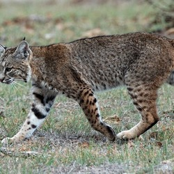 North American Lynx Cat pictures Bobcat