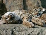 Sleeping Eurasian Lynx Lynx Cat pictures