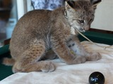 Tame Lynx Kitten Cat pictures 8 Ball