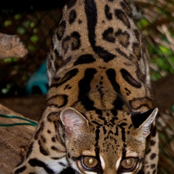 Margay Cat Photo  kitten (Leopardus wiedii)