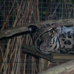 Margay Cat Photo Leopardus wiedii calviac