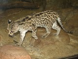Margay Cat Photo Leopardus wiedii